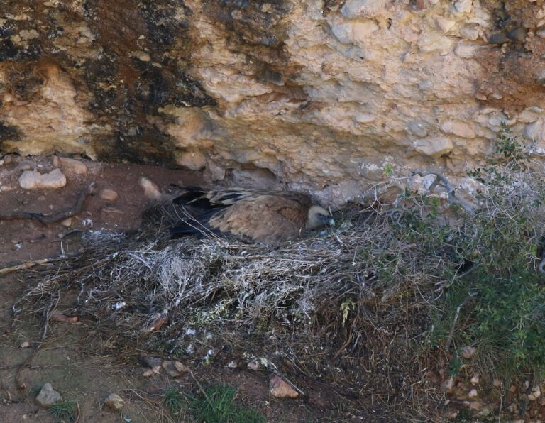grifone nido