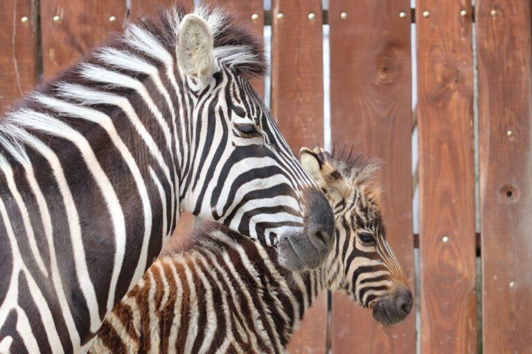 zebre zoo